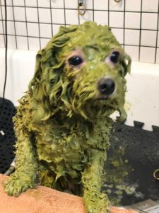 Shaggy Dog Gets a Shampoo